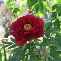 清眼寺のぼたんの花が美しい。