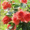 救護施設 ニュー三楽園のバラ