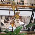 珍しい洋ラン展がアルネ2階でありました。