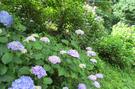 紫陽花1.jpg