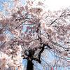 2013年本行寺(ほんぎょうじ)の枝垂桜・ひがん桜(西寺町)
