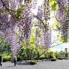 神楽尾公園の藤棚