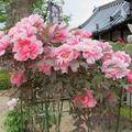 2013年 愛染寺のボタンの花