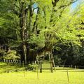 菩提寺の国指定の天然記念物 大イチョウ