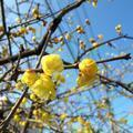 ロウバイの花(二宮)