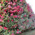 山茶花の花(勝部)
