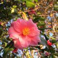 千光寺の椿の花(2014年2月)