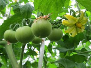 トマト2.jpg