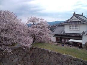 2014鶴山桜3.jpg