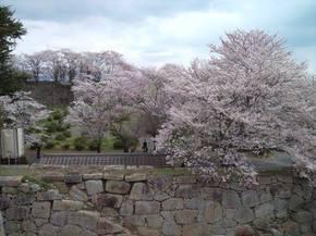 2014鶴山桜2.jpg
