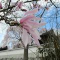 2014年4月1日の千光寺のこぶしの花