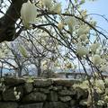 津山城(鶴山公園)の白モクレン