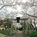 2014年3月30日~4月9日の白加美神社のさくら