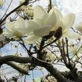白モクレンが咲きました。