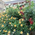 江原恵明会のバラ園(津山市津山口)