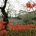 津山城(鶴山城跡)の曼珠沙華