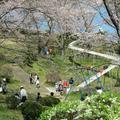 2015年 神楽尾公園のさくら