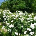 グリンヒルズ津山のバラの花(大田)