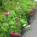 梅の里公園近くのアジサイの花(神代)