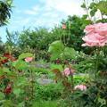 グリーンヒルズのバラ(大田)