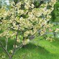 津山城(鶴山公園)内のさくらと裏門で咲くさくら