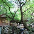 白竜干衣之樹(イロハモミジ)上横野