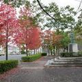 津山市山下「音の広場」の紅葉です。