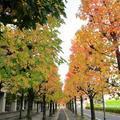 津山市役所のモミジバフウ(紅葉葉楓)が綺麗です。