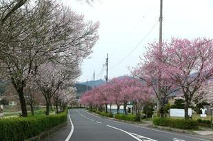 higashi-sakura.jpg