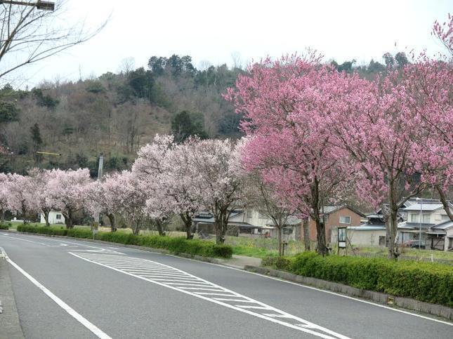 higashi-sakura3.jpg