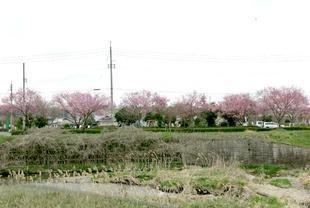 higashi-sakura6.jpg