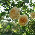 赤堀さん宅のバラの花