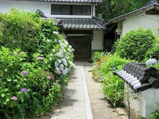 cyo_ajisai6-24-10.jpg