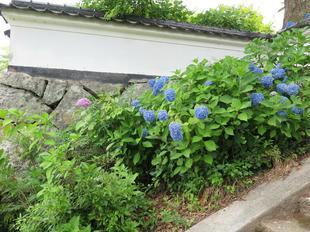 cyo_ajisai6-24-8.jpg