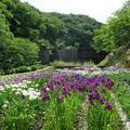 久米南町の花菖蒲園