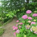 植月さん宅のアジサイの花