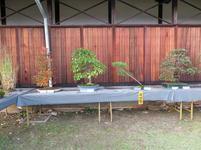 bonsai18.jpg