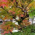 善應寺の樹令200年の「傘大モミジ」
