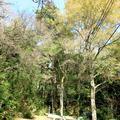 金刀比羅神社のモミの木(加茂町中原)