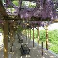 津山城(鶴山公園)の藤の花が満開です。