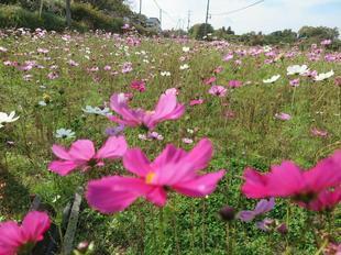 kosumosu7-4.jpg