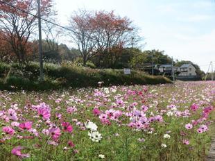 kosumosu7-7.jpg