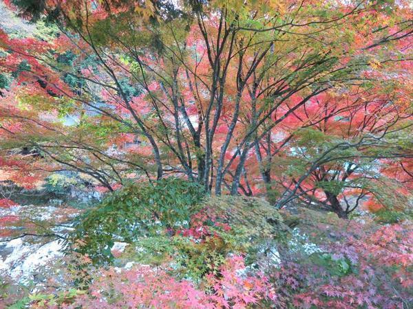奥津渓の紅葉が見ごろです。