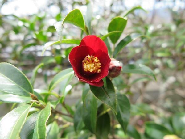 松本山 千光寺のツバキの花