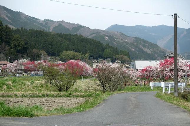 阿波の花桃12.jpg