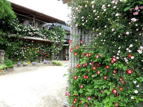 宗平さん宅の壁バラが素晴らしい。