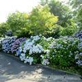 奈義町で見たアジサイの花