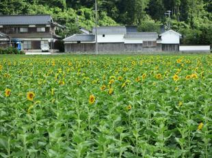 7-7himawari19.jpg