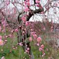 梅の里公園の梅の開花状況(3月1日)