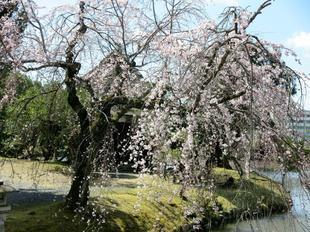 sakura-syuraku11.jpg